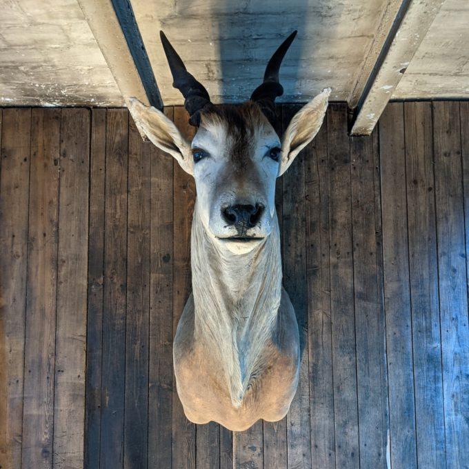 Cape Elk